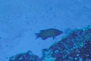 Redfin Hogfish