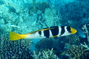 Blacksaddle Coral Grouper (Juvenile)