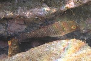Grecian Parrotfish (Juvenile)
