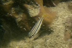 Pale Monocle Bream (Juvenile)