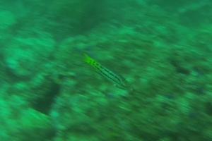 Mexican Hogfish (Juvenile)
