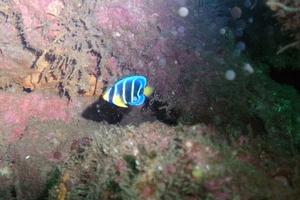Blue Angelfish (Juvenile)