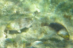 Grecian Parrotfish