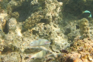 Threespot Wrasse (Juvenile)