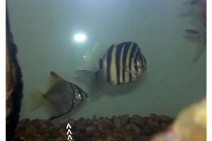 Diamondfish (Juvenile)