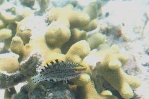 Greenthroat Parrotfish (Juvenile)