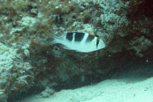 Humpnose Bigeye Bream (Juvenile)
