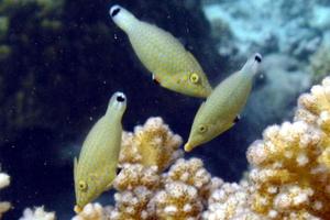 Red Sea Longnose Filefish