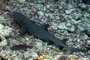 Grey Reef Shark (juvenile)