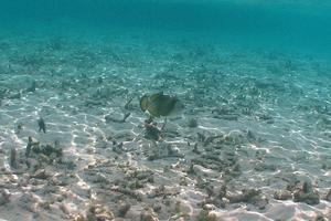 Titan Triggerfish (Juvenile)
