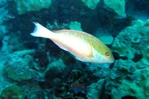 Bluelip Parrofish