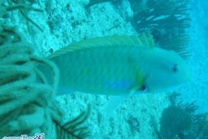 Rosy Razorfish