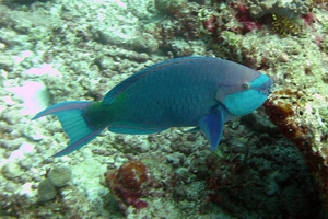 Greenthroat Parrotfish