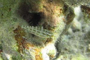 Five-spotted Wrasse (Juvenile)