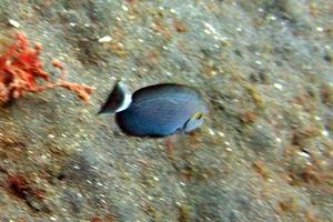 Ringtail surgeonfish (Juvenile)