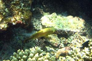 Longnose Parrotfish (Juvenile)
