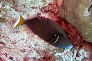 Flagtail Triggerfish