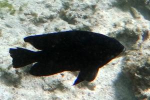 Black Damsel