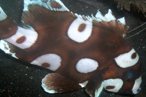 Many-spotted Sweetlips (Juvenile)