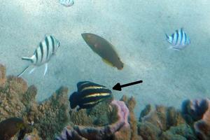 Steephead Parrotfish (Juvenile)