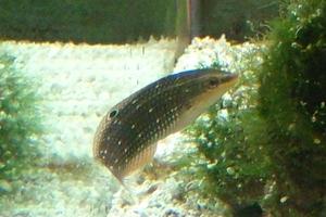 Argus Wrasse (Juvenile)