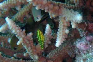 Bridled Parrotfish (Juvenile)