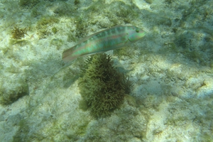 Slippery Dick