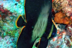 Pinnate Spadefish  (Juvenile)