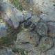 Mottled Jawfish