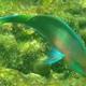 Quoy's Parrotfish