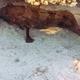 Halfmoon Grouper
