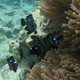 Three-spot Dascyllus (juvenile)