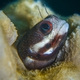 Giant Blenny