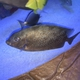 Gold-spotted Rabbitfish