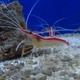 Ambon Cleaner Shrimp