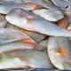 Yellowpatch Razorfish