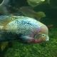 Redhead Cichlid