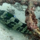 Orange-spotted Grouper