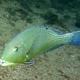 Blackspot Tuskfish