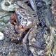Purple Mangrove Crab