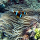 Orange-finned Anemonefish