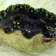 Necklace Giant Clam