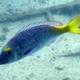 Yellowtail Emperor