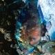 Stareye Parrotfish