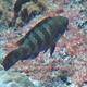 Indian Parrotfish