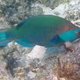 Greenbelly Parrotfish