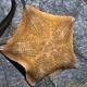 Common Cushion Sea Star