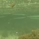 Crocodile Needlefish