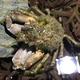 De Haan's Sponge Crab