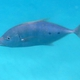 Gold-spotted Trevally